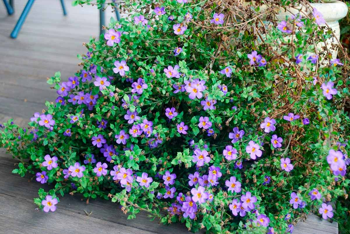 Бакопа цветы фото