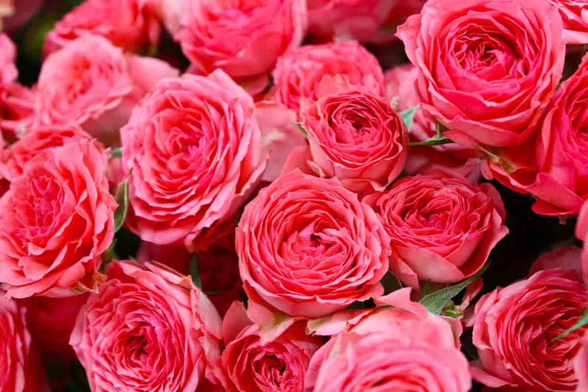 Роза темно-бордовая
