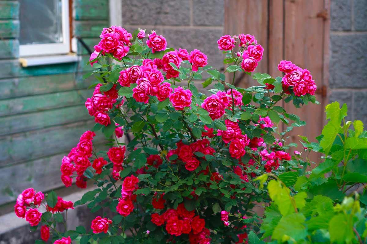 Роза мелкая кустовая фото