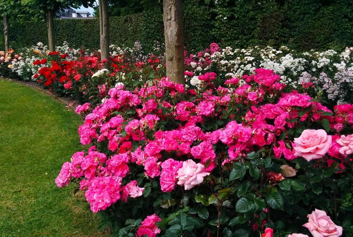 Использование кустовых роз в ландшафтном дизайне