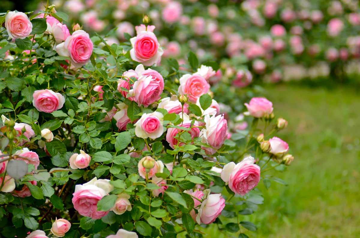 Отличие парковых от кустовых роз
