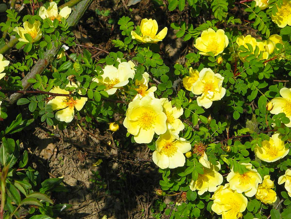 Роза китайская 'Canary Bird'