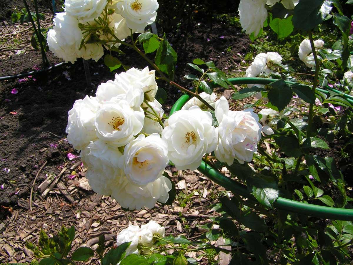 Роза бурбонская 'Boule De Neige'