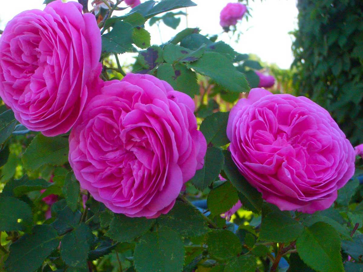 Роза бурбонская 'Louise Odier'