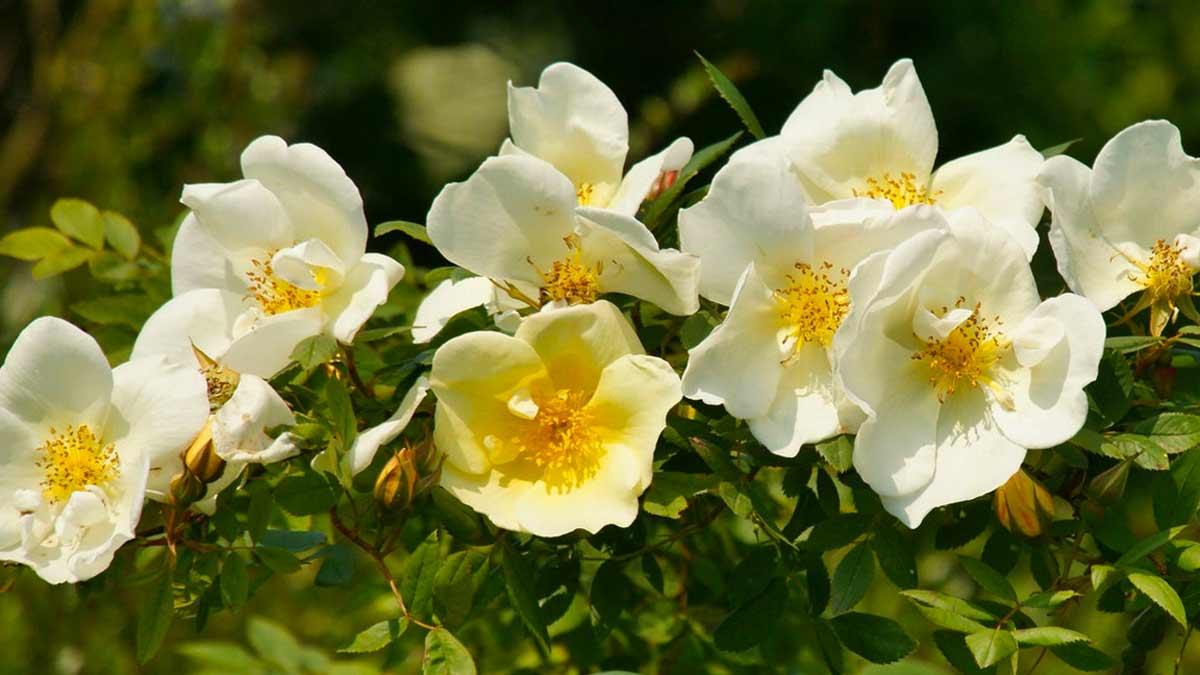 Роза даурская