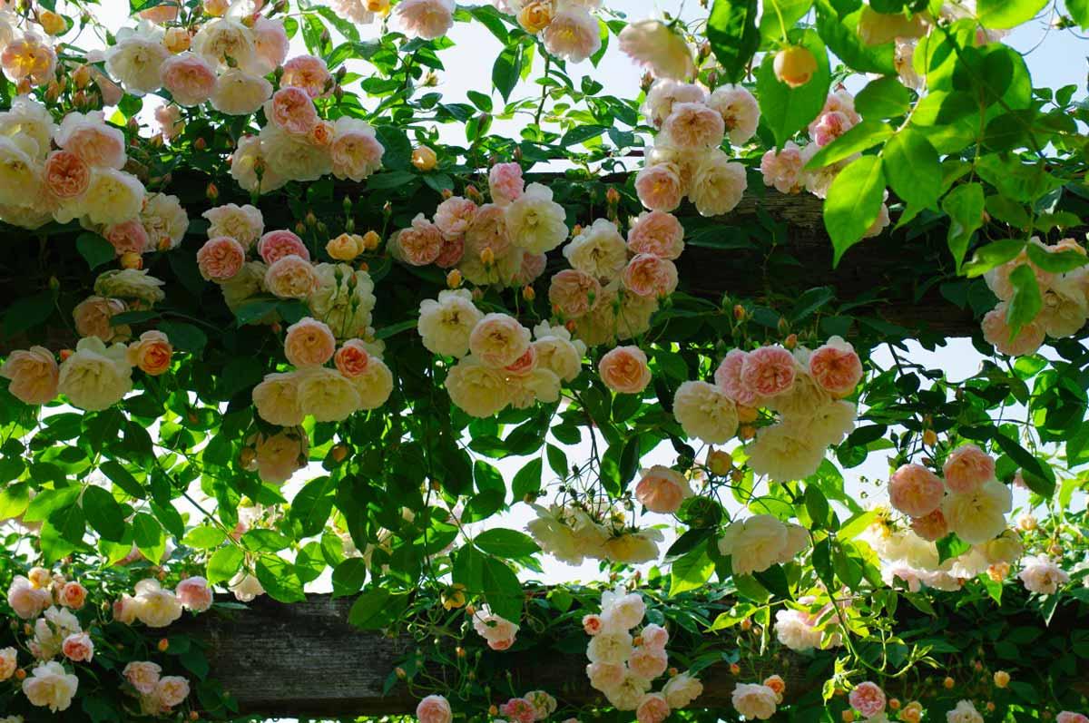 Роза плетистая ред рамблер