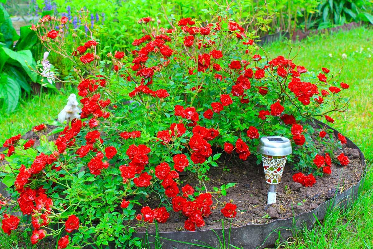 Почвопокровная роза уход и выращивание