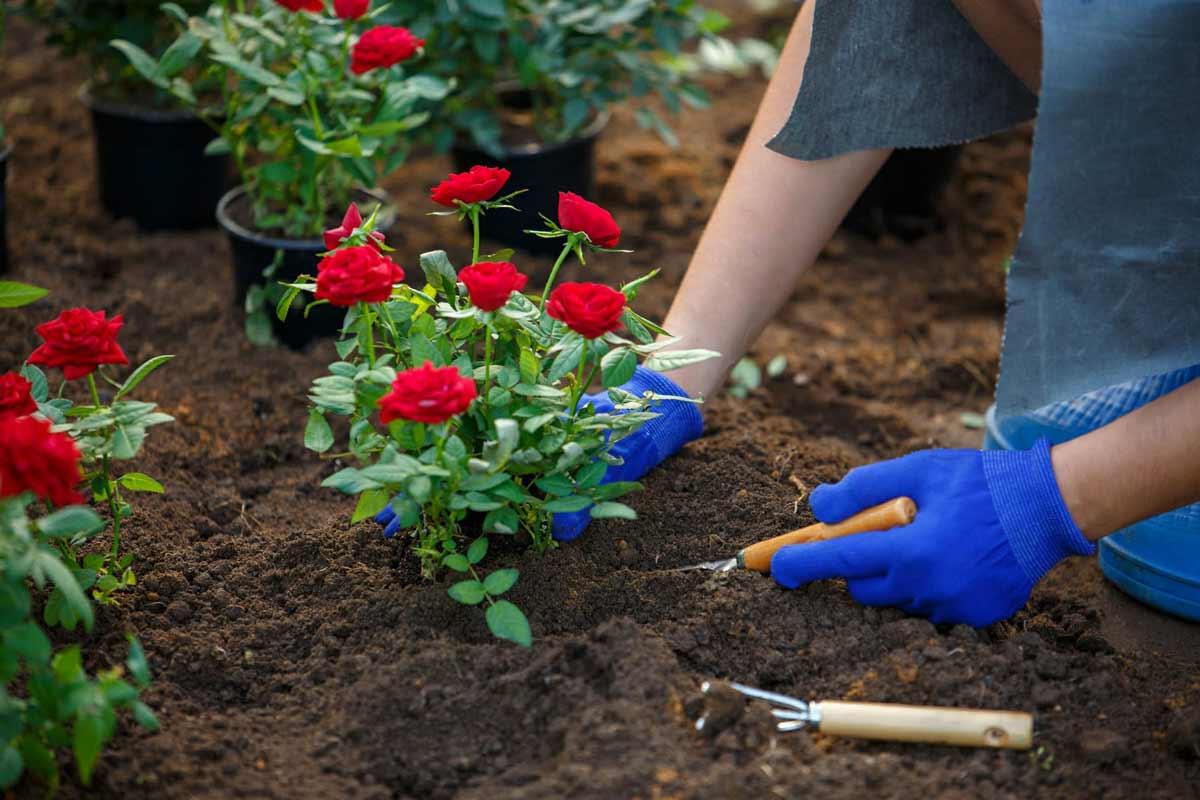 Посадка роз весной как сажать розы 39