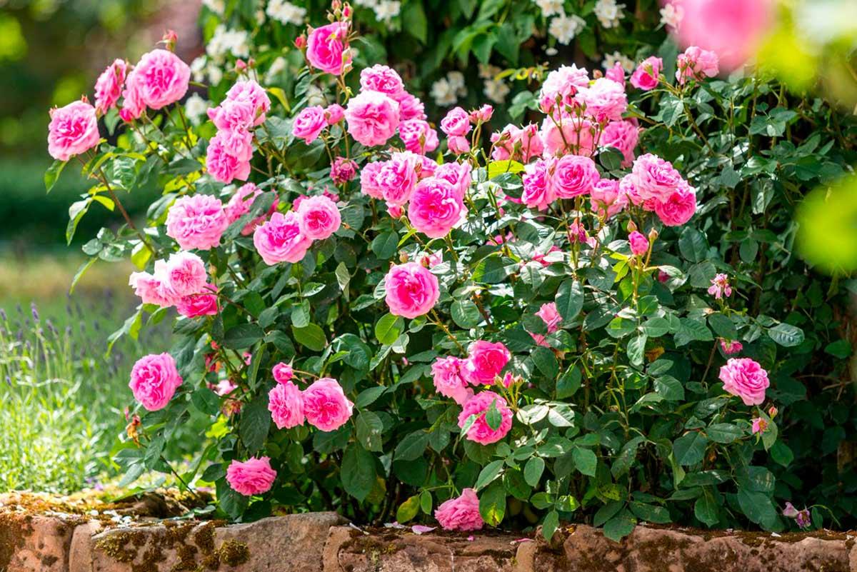 Клумба с розами и другими цветами