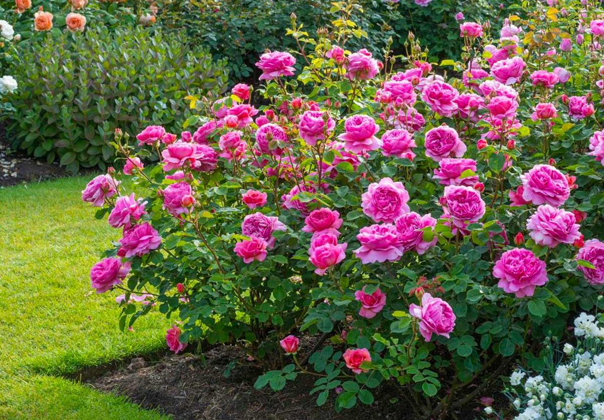 Розы из семян