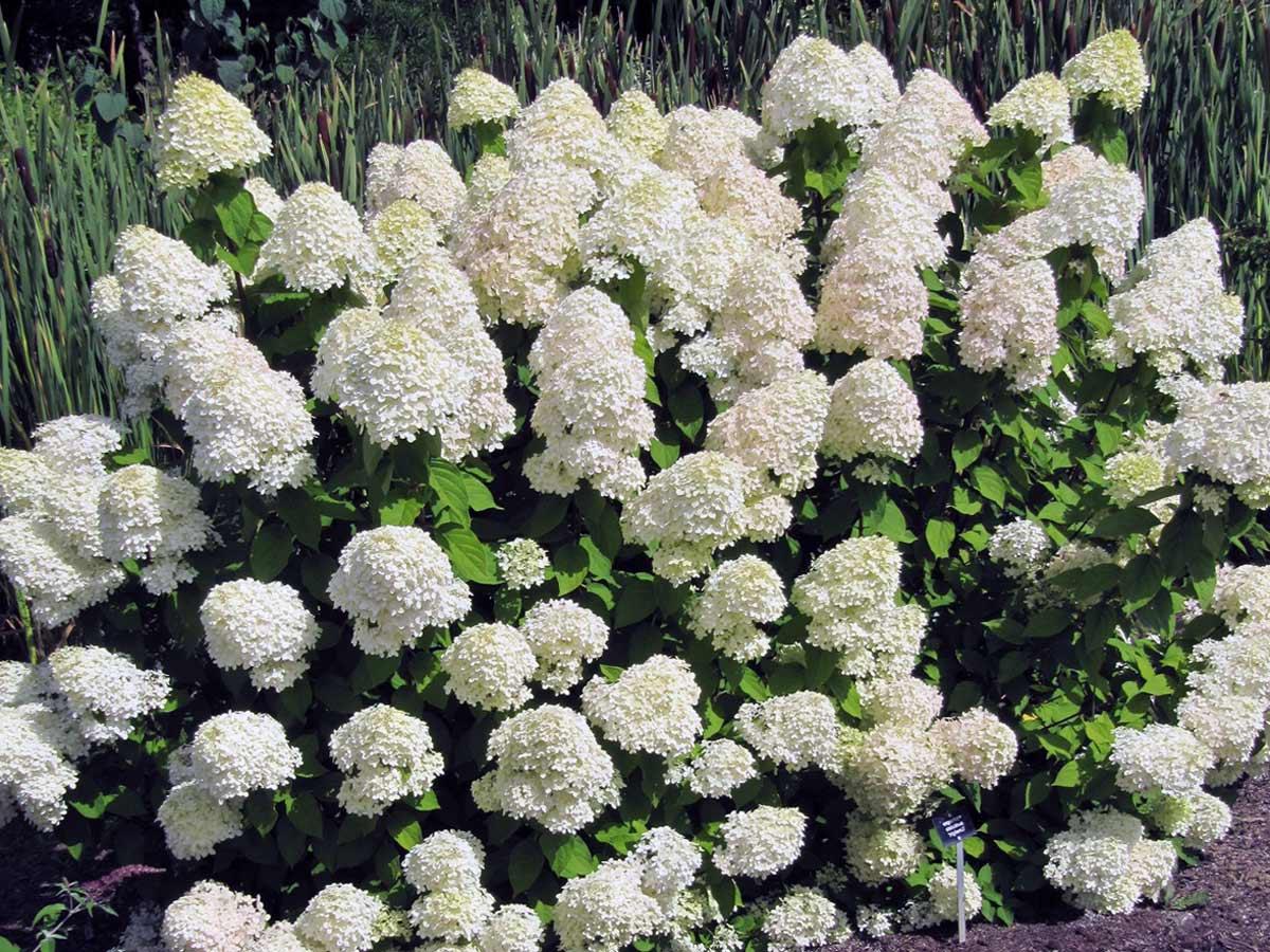 Цветы абелия корейская белые абелия
