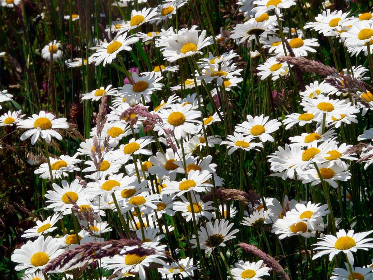 Цветок птицемлечник описание 131