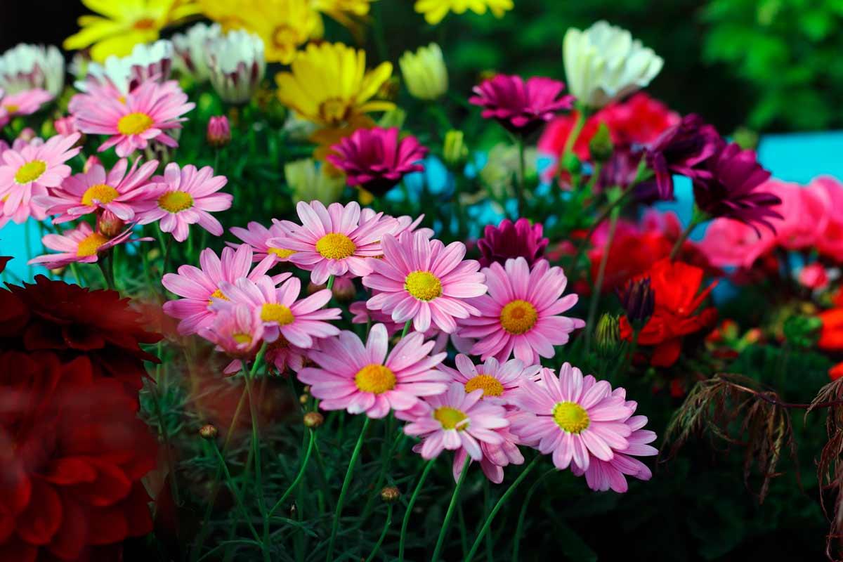 цветок аконит фото