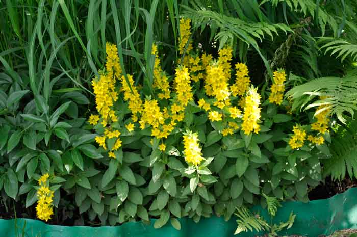 Сад цветы газания