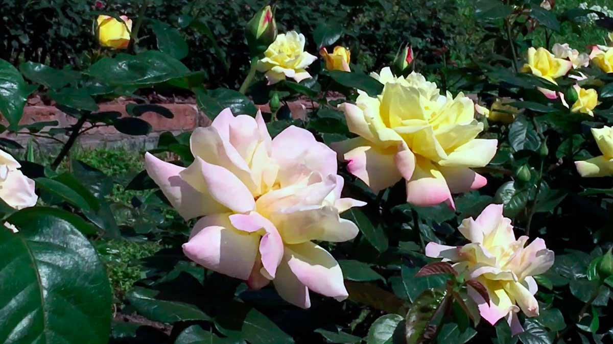 Цветы роза красивые