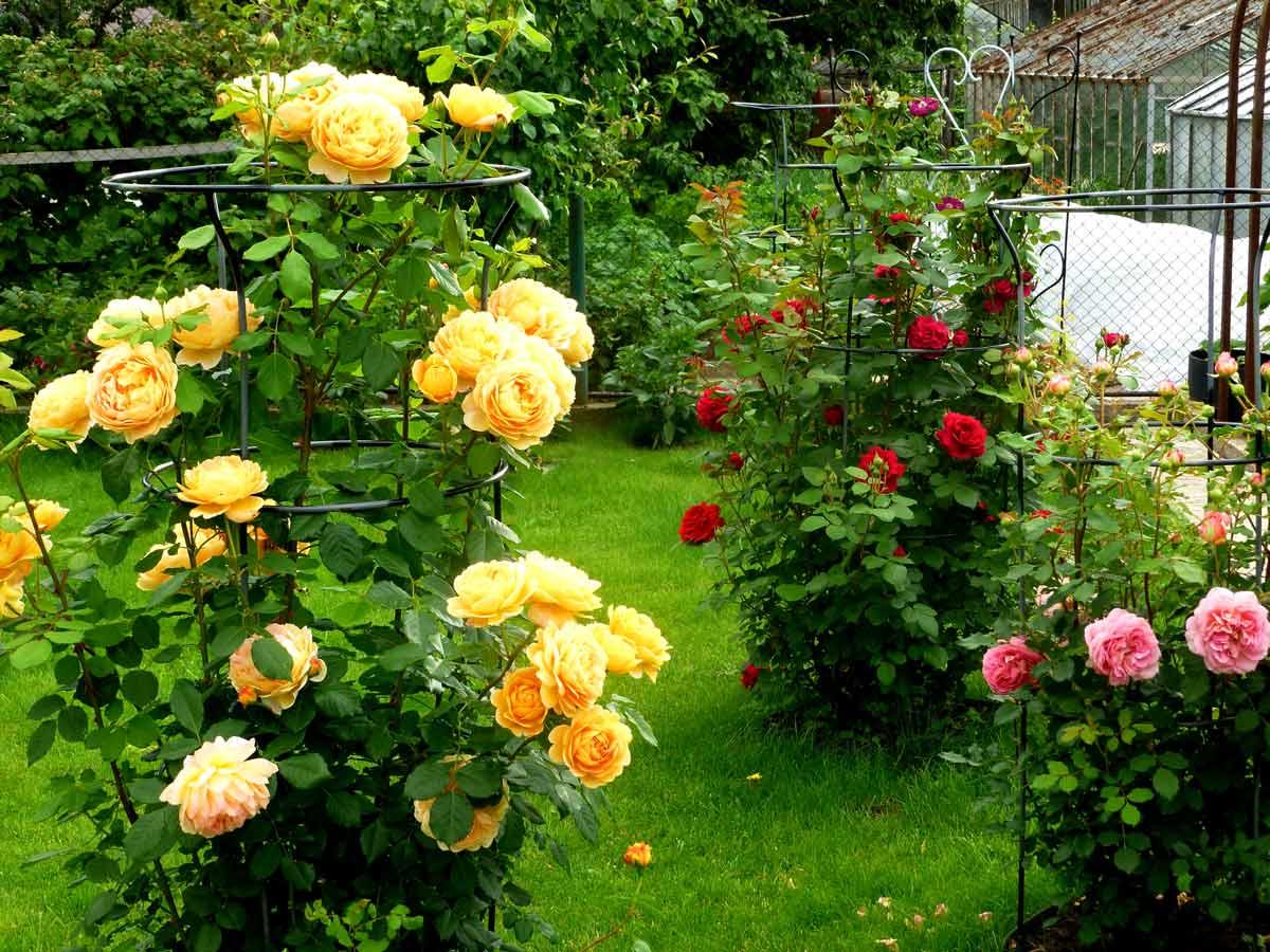 Опора для плетистой розой своими руками