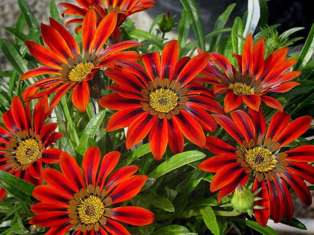 Цветы газания