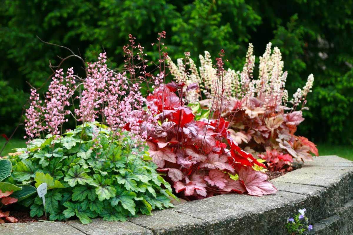 Гейхера цветок многолетний