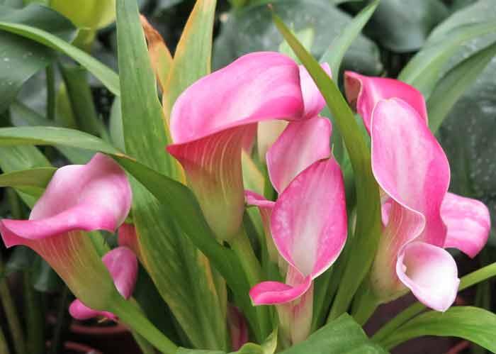 Растение калла фото