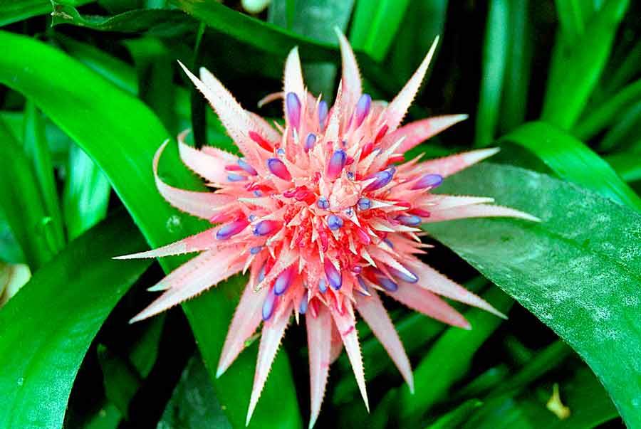 комнатные цветы  эхмея