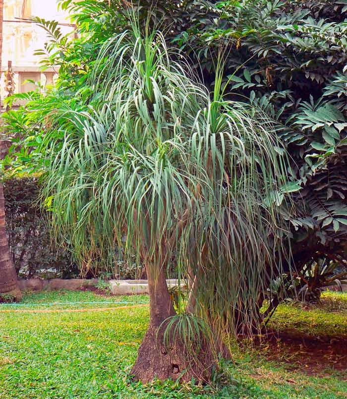 Бокарнея фото