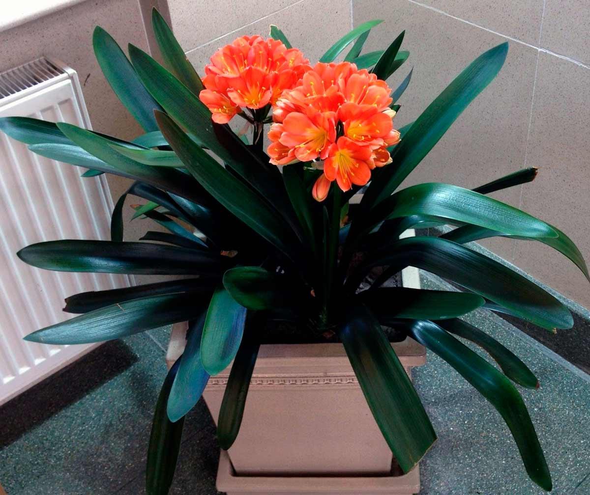 Выращивание кливии в домашних условиях 974