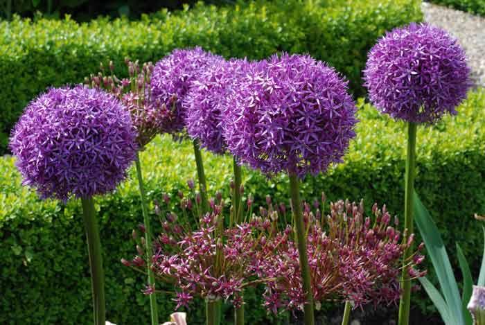 Название и картинки луковичных цветов