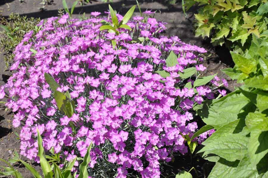 Камелия виды описание и фото  Комнатные растения и