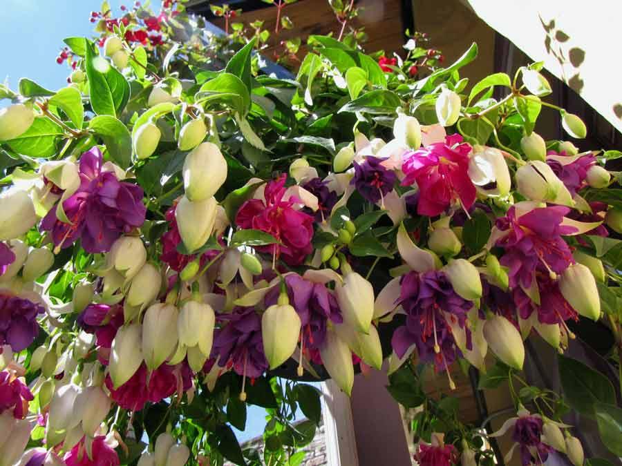 Ампельные цветы для дома фото и названия