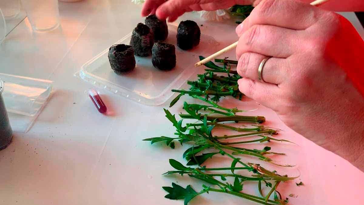 хризантемы маленькие фото