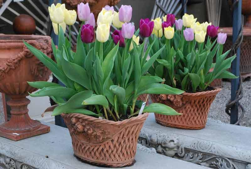 Сажать тюльпаны в доме 1