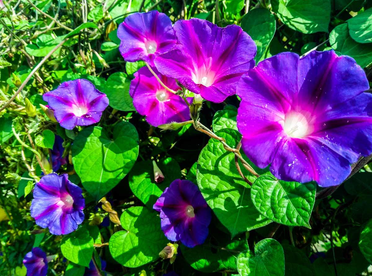 Фея сада  ипомея Виды и сорта Выращивание и уход