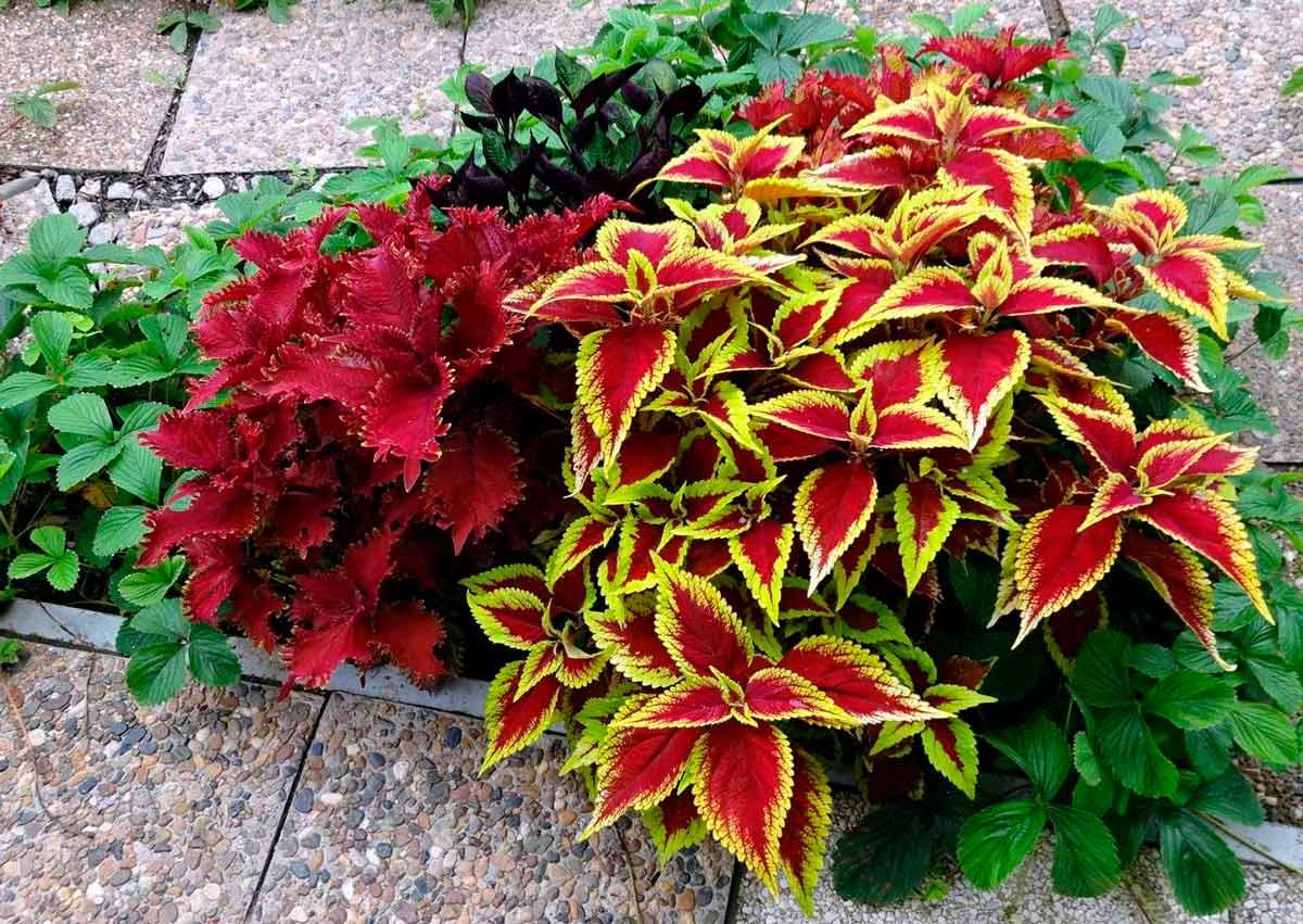 Колеус ценится садоводами за красивые ...: flo.discus-club.ru/koleus.html