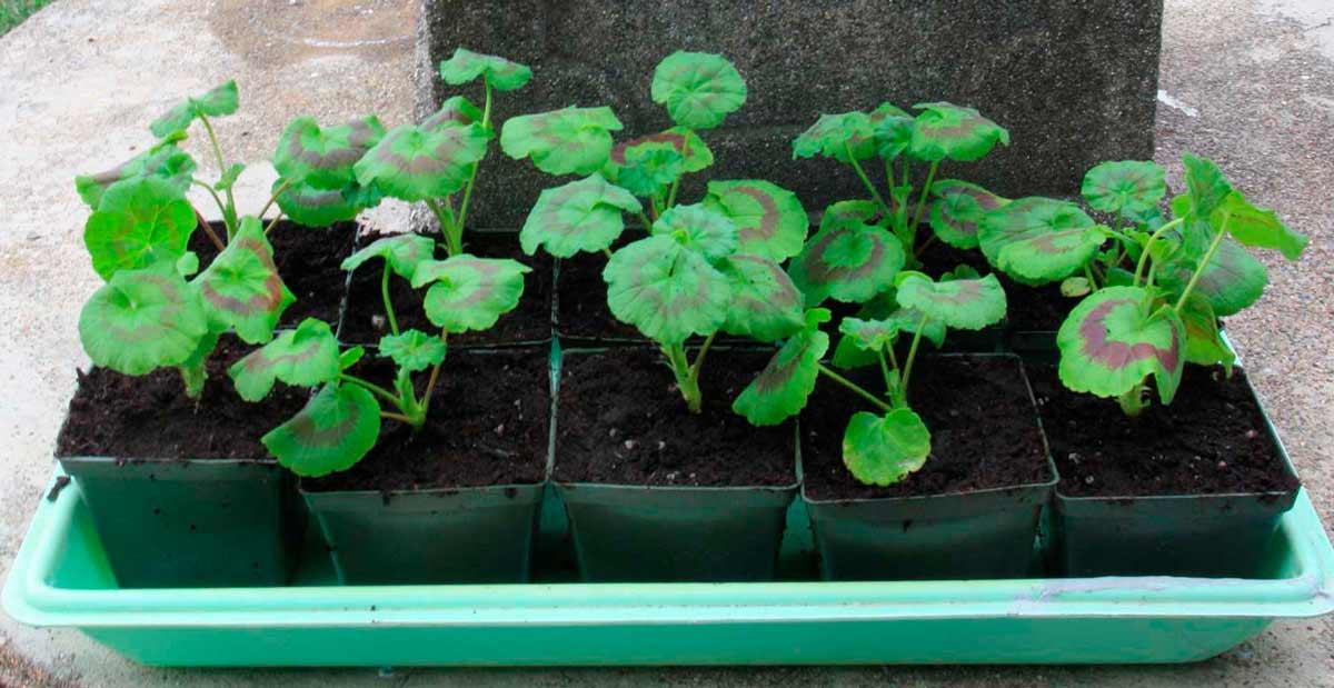 как выглядят семена пеларгонии