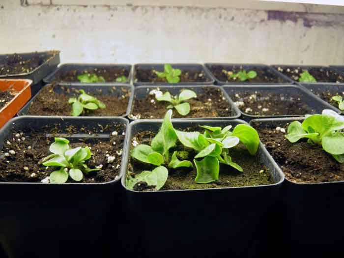 Петунии условия выращивания 70