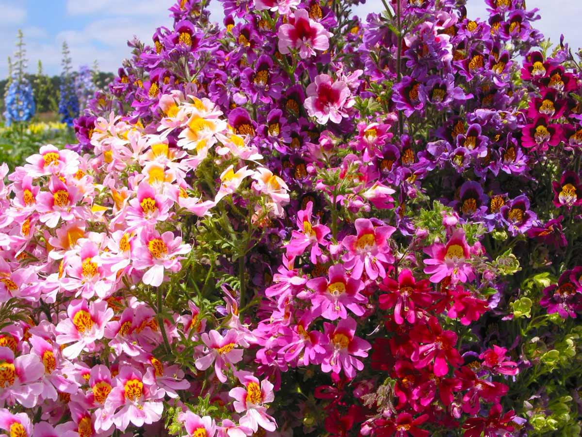 Схизантус выращивание из семян фото