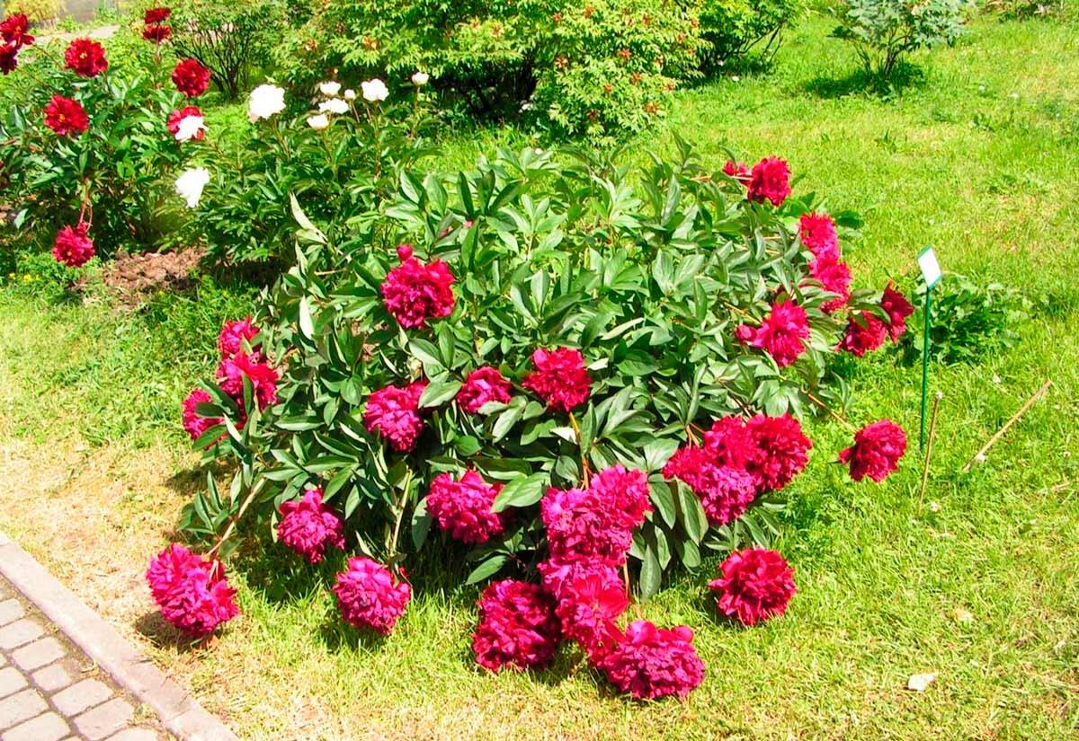 Розы и пионы на одной клумбе