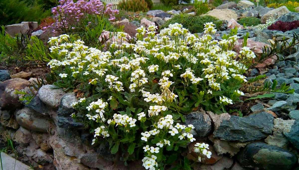 Стелющиеся цветы многолетники фото с названием