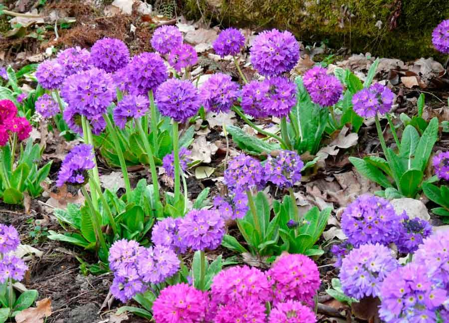 Цветок морозник: фото и описание растения, посадка, уход и