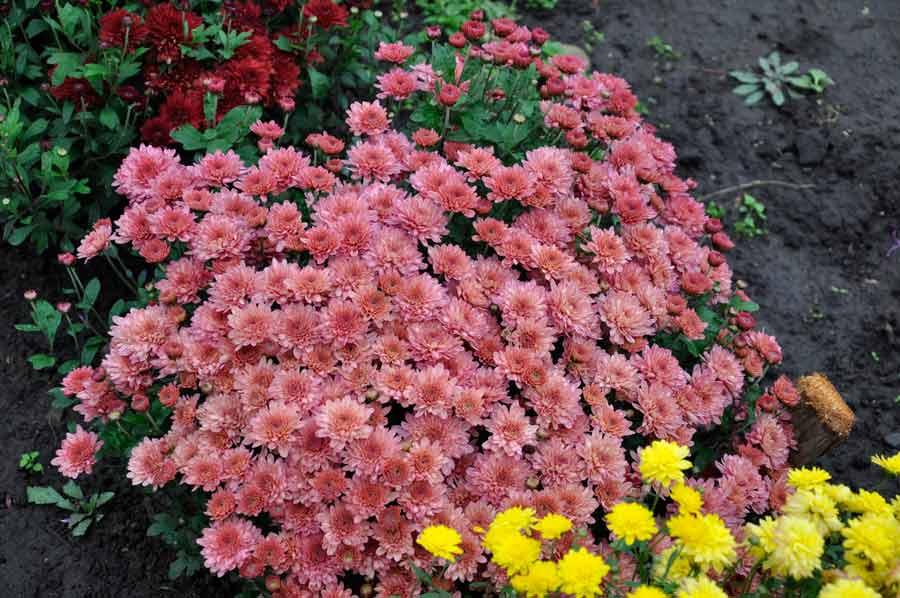 куляста хризантема