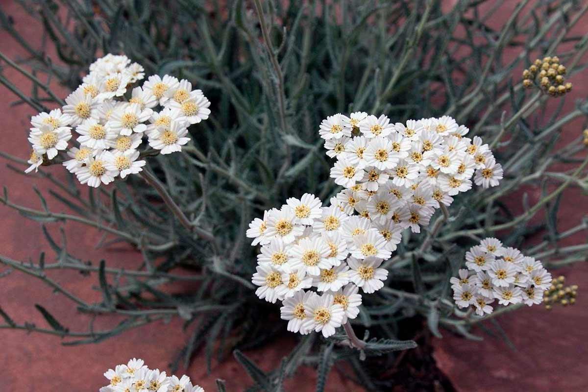Растение тысячелистник фото