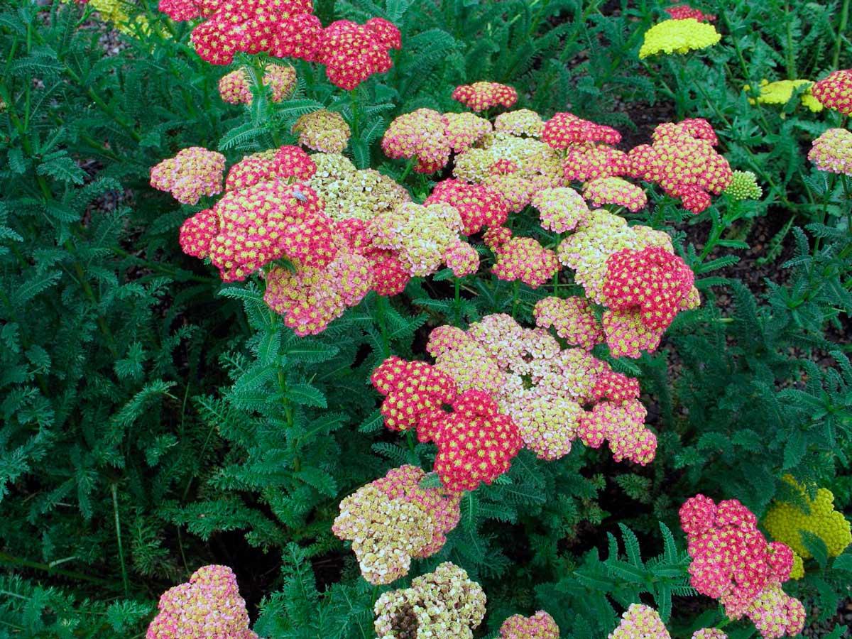 Тысячелистник цветок садовый