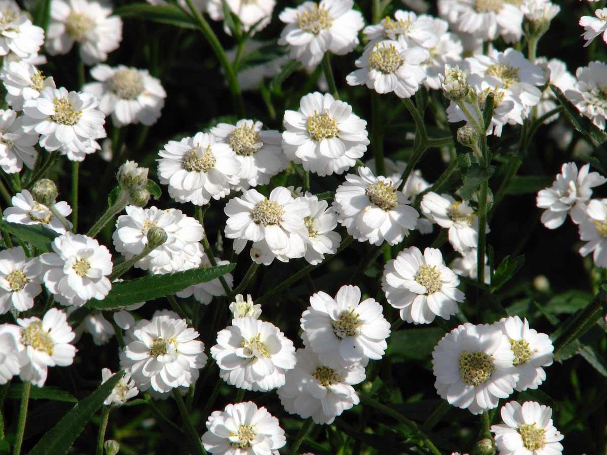 Тысячелистник цветок