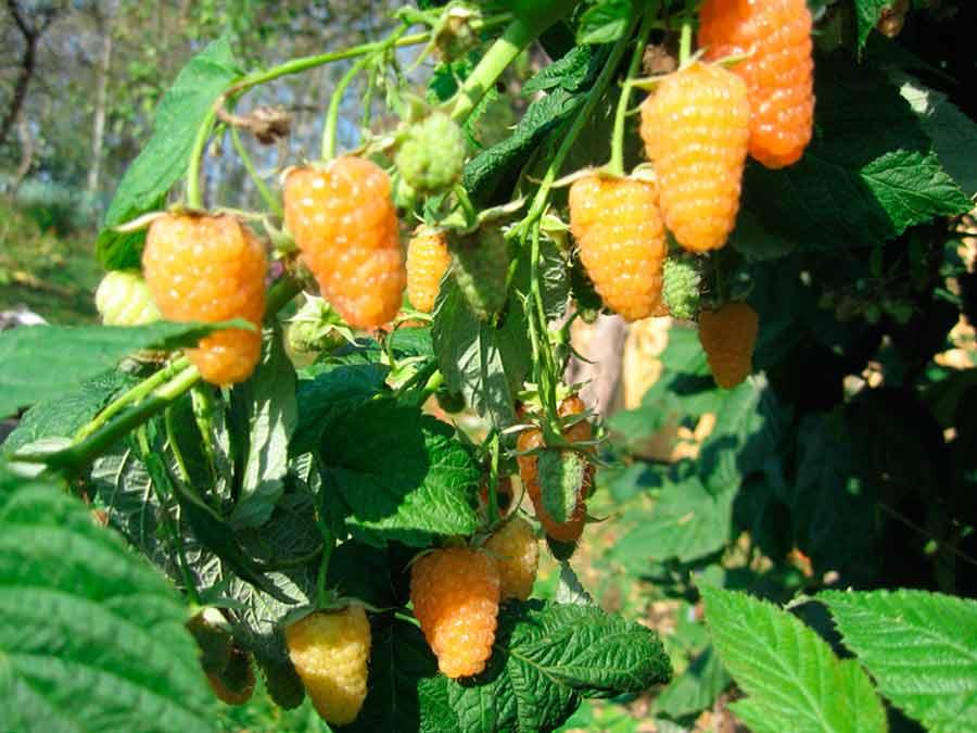 Выращивание малины на украине 81
