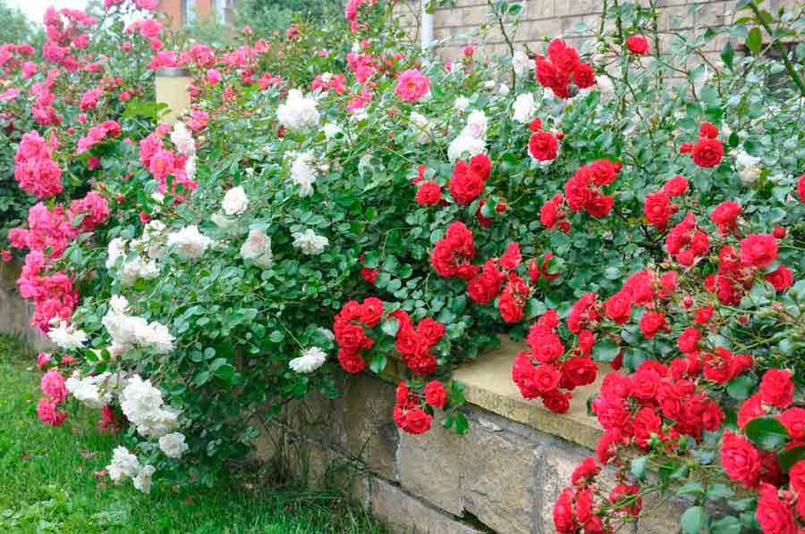 Виды многолетних цветов для дачи и уход за ними - Дом и дача