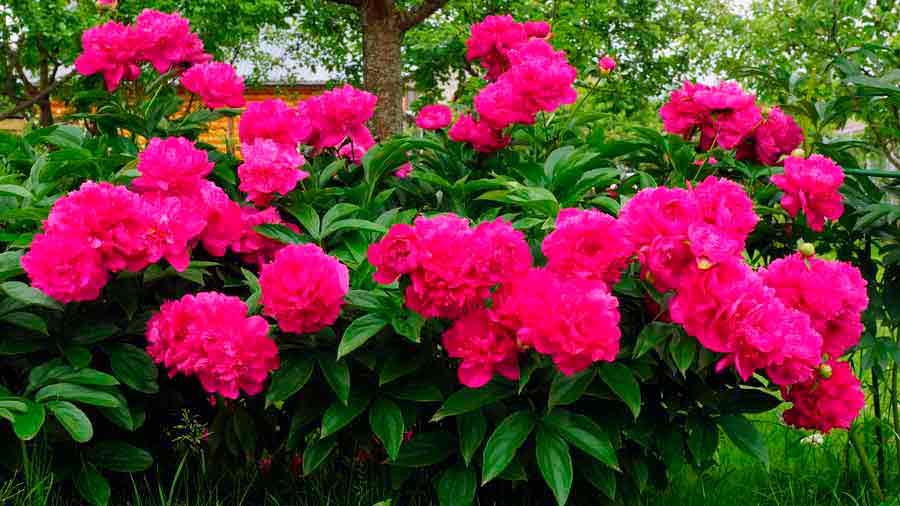 Многолетние цветы с метелками