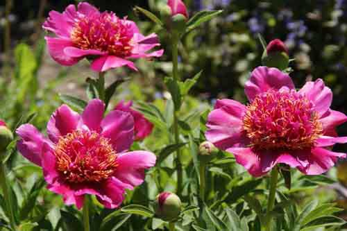 Многолетние цветы для сада фото