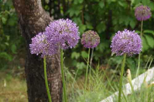 Цветы многолетние в сад