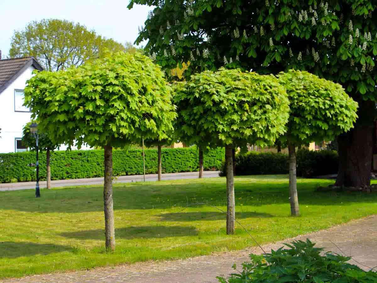 клён татарский фото листьев