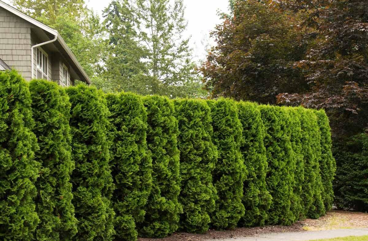 зеленый забор живая изгородь на даче фото обычно
